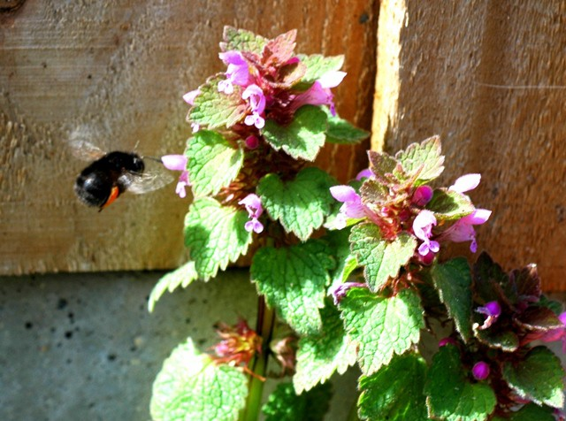 640 hairy footed flower bee alighting on red dead nettle