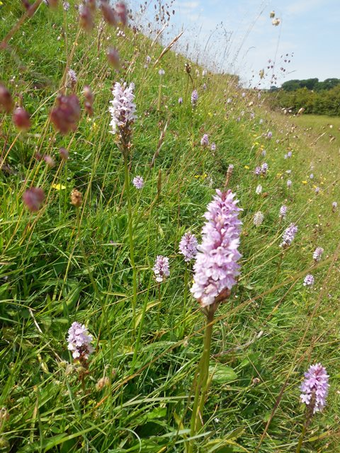 spotted orchids 3 warham camp 640