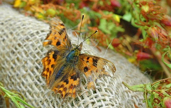 small worn comma butterfly