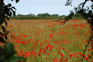 poppies field through hedge