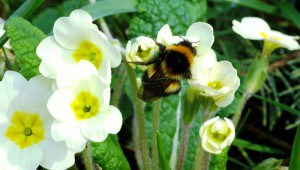 bumble bee on primrose s