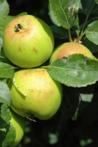 S crab apples