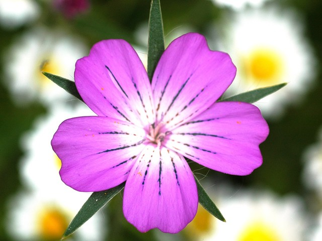 corncockle flower