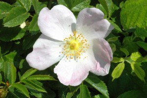 s dog rose bloom