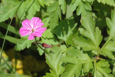 small herb robert