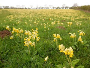 courtyard cowslips