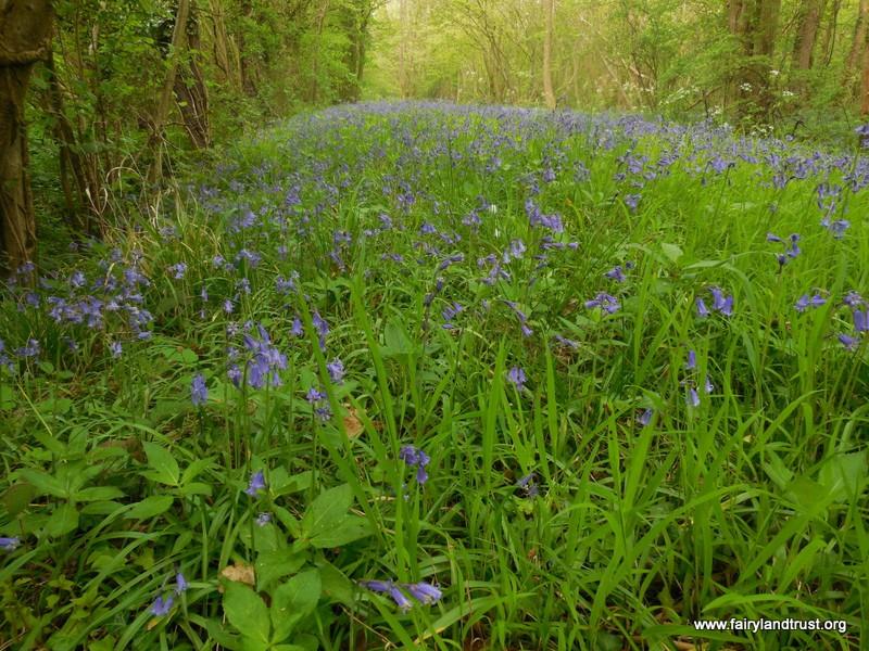 Fairyland Trust - About Bluebells