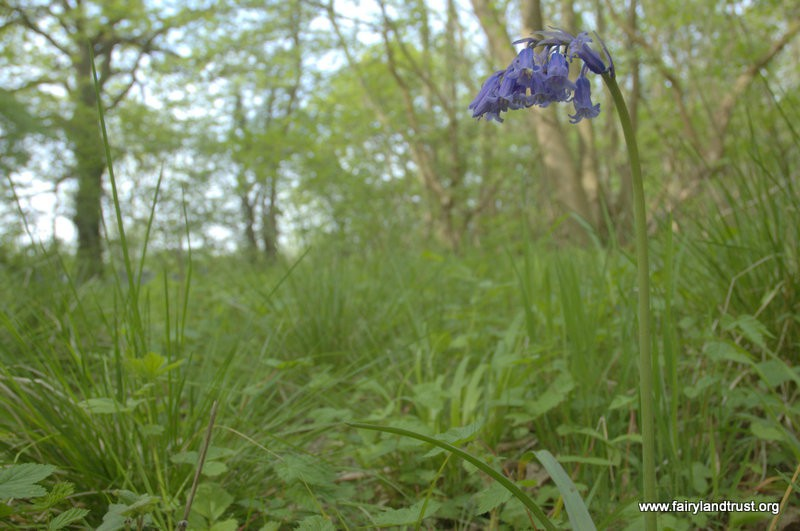Single Bluebell in Woodland - Fairyland Trust