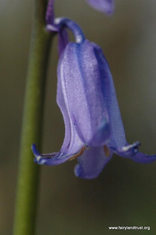 Bluebell Head - Fairyland Trust