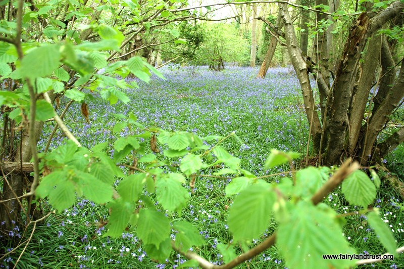 Bluebells in woodland with Fairyland Trust