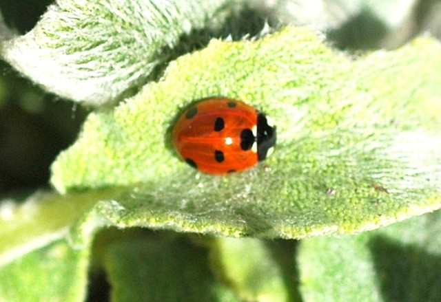 ladybird maybe 7 spot 640
