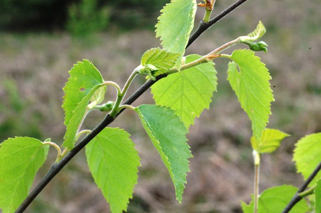 young birch leaves 640