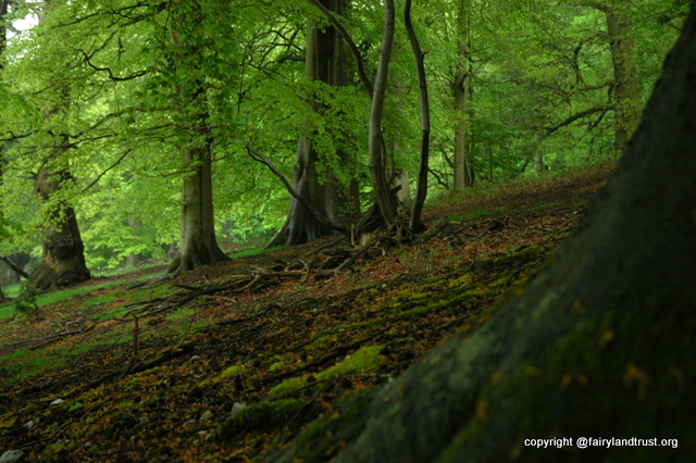 beech woods sennowe 2