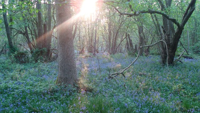 bluebells early morning foxley