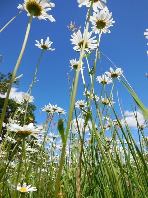 Solstice daisy 640