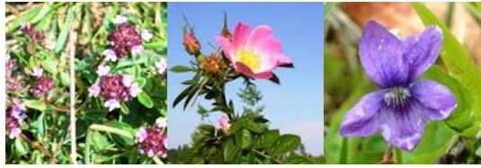 wild thyme eglantine and violet