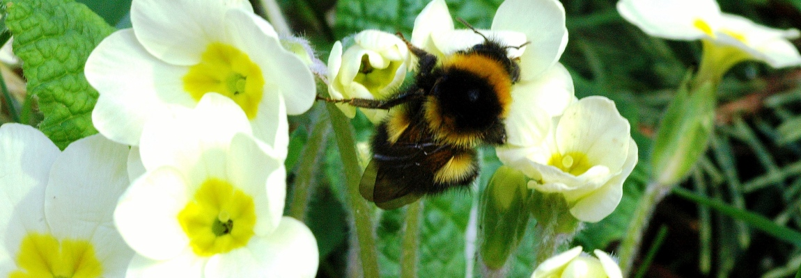 Primrose Video: Plant them for Bees