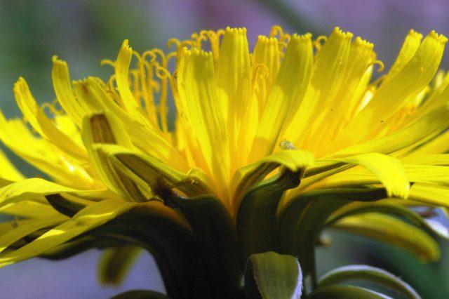 Save Dandelions from Lawnageddon – The Fairyland Trust